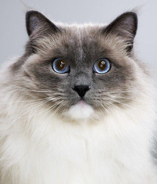 The Cat Fancier's Association has released its list of most popular cat breeds in 2013