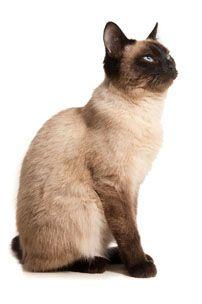 Super Garoto: ctrl=,,gato siamesmeu gato e igual a esse o nome d...