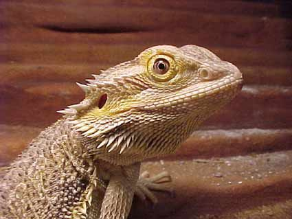 Bearded Dragon Lizard  The Bearded Dragon is one of the most common lizard pets, we feed her live crickets and worms.   Ours is named Lizzie, lol, very creative!
