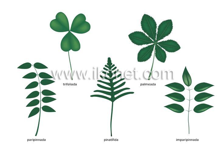 hojas compuestas