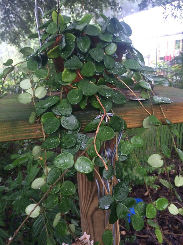 Hoya Mathilde Hoya Plants Plant Decor House Plants