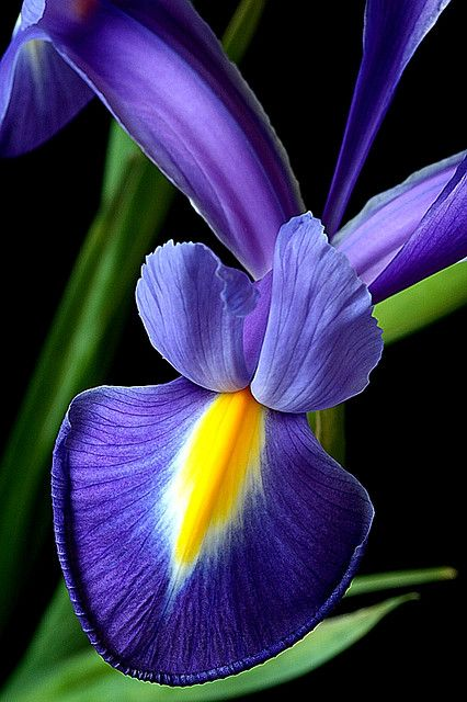 Blue iris... So Beautiful!