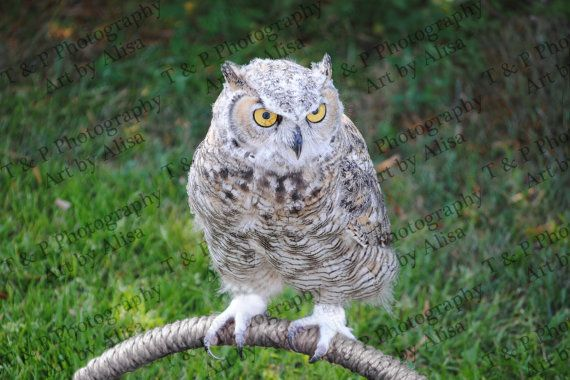 Owl photo nature photography Great Horned Owl by Turtlesandpeace