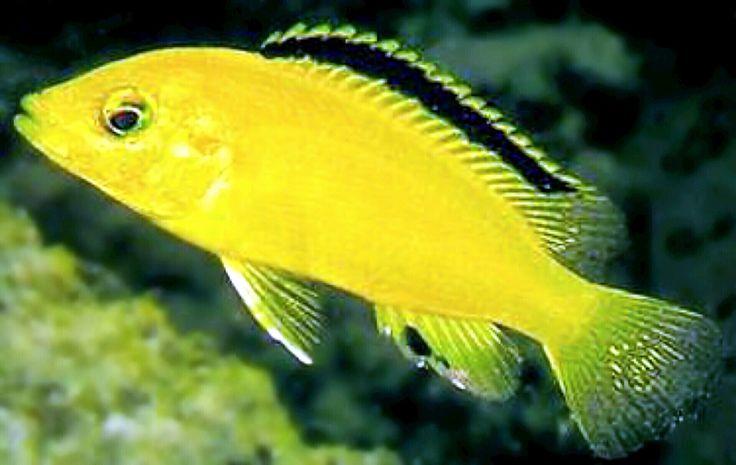 yellow cichlid fish - photo #43