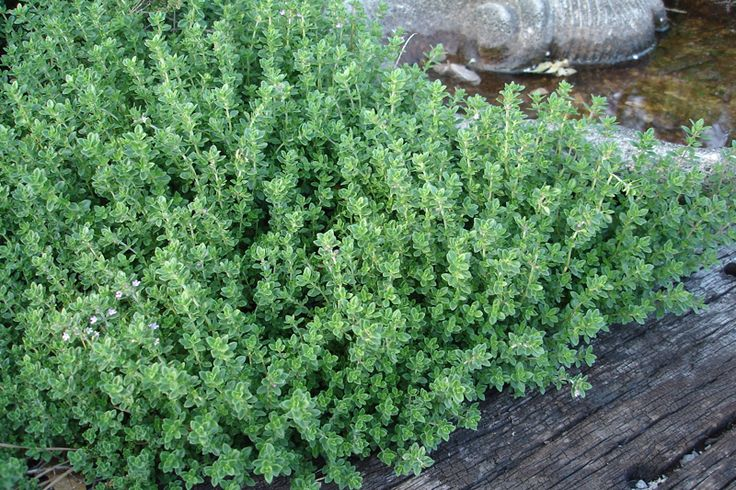 Thyme: full sun, Perennial, prostrate versions (Three square boxes next to the bike path)