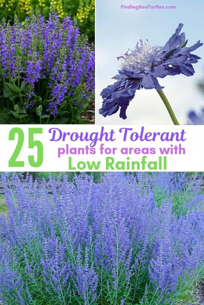 25 Drought Resistant Perennials Finding Sea Turtles Drought Resistant Plants Drought Tolerant Garden Drought Tolerant Landscape