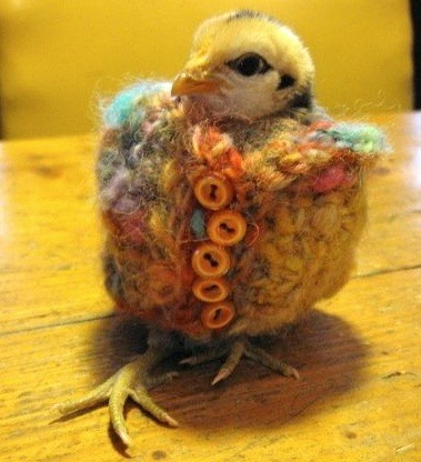 Baby Chicks And Hens In Clothes