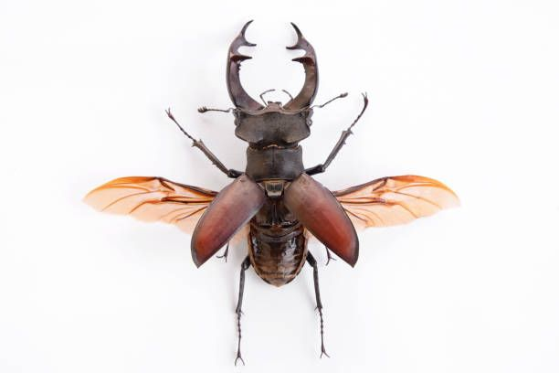 high resolution picture of a stag beetle