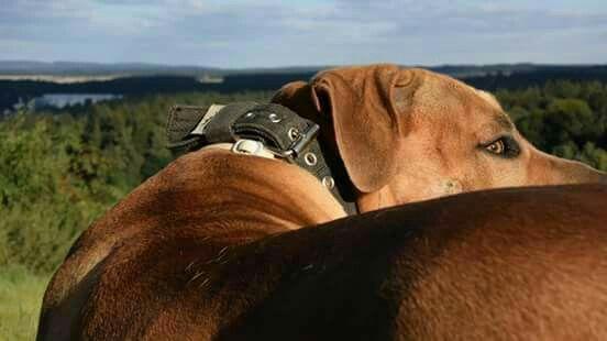 #KingMoris ✔  #Boerboel