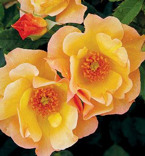 Morden Sunrise Shrub Roses. Apricot-yellow blend; semi-double; disease resistant; very fragrant! 3 ft. Hardy to Zone 3. From HORTICO: http://www.hortico.com/roses/view.asp?action=sbcn&catno=SHMOSU10