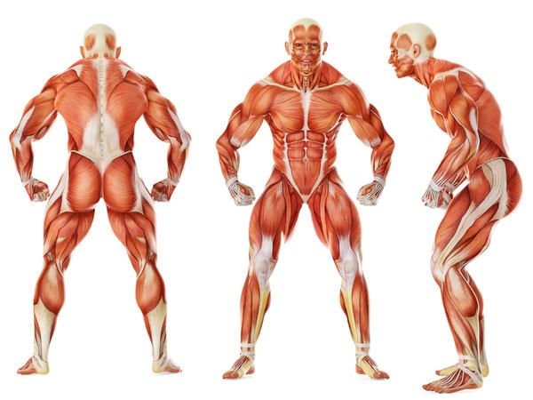the human body has 650 muscles, and the heart is the strongest, Muscles