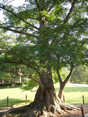 Dawn Redwood. Planted 2009, this is a mature specimen.  Ours will look like this!!!