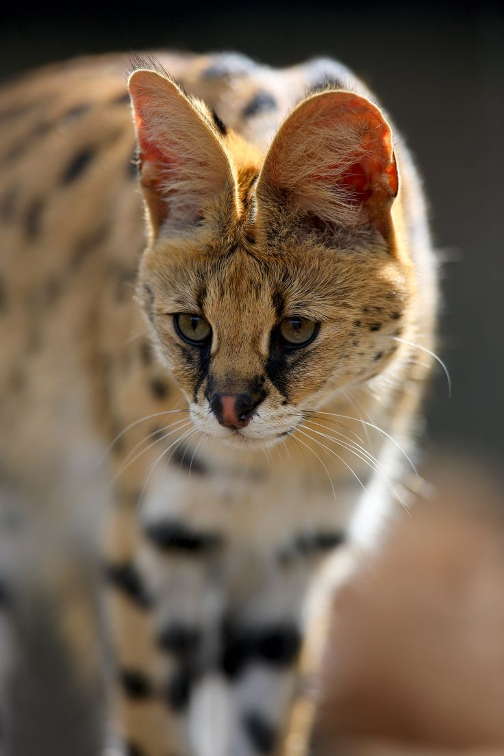 Hunting the serval will often pluck birds from mid air the agile cat