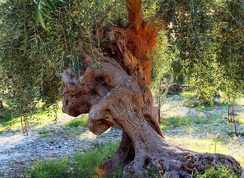 Salento, Puglia - Olivi millenari