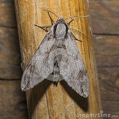 Big gray Moth , Flaying in the night .