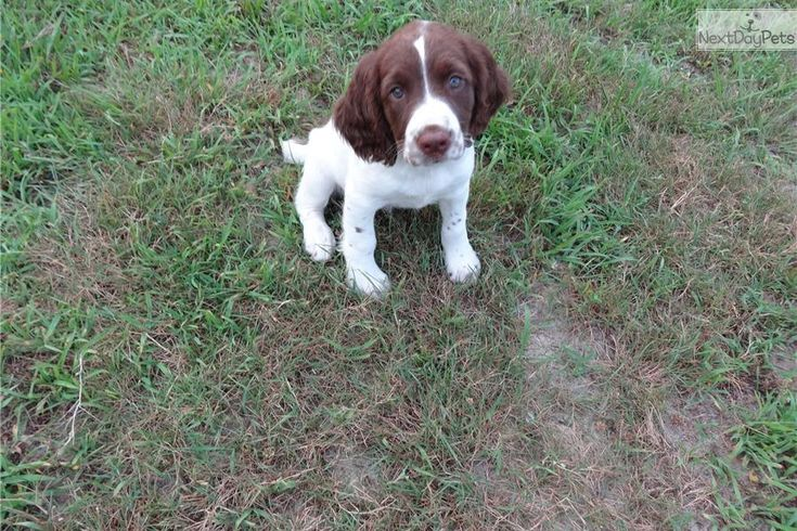 English Springer Spaniel for sale for $850, near Location:  Central NJ, New Jersey. 57b95eec-b691