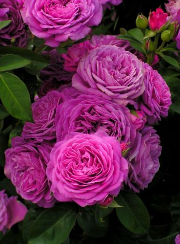 Floribunda Rose: Rosa 'Heidi Klum'