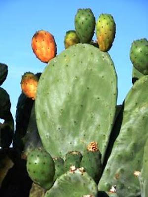 """Khasiat Buah Kaktus pir Berduri Bagi Kesehatan, Kaktus pir berduri, memiliki nama ilmiah """"Opuntia ficus indica"""", adalah tanaman sukulen masih kerabat Cactaceae dan tumbuhan ini menurut pakar botanikal barat, adalah diduga asli tumbuhan Meksiko, http://tipsehatcantikalami.blogspot.com/2012/10/khasiat-buah-kaktus-pir-berduri-bagi.html"""