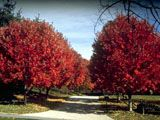 Acer rubrum (Red maple) | NPIN
