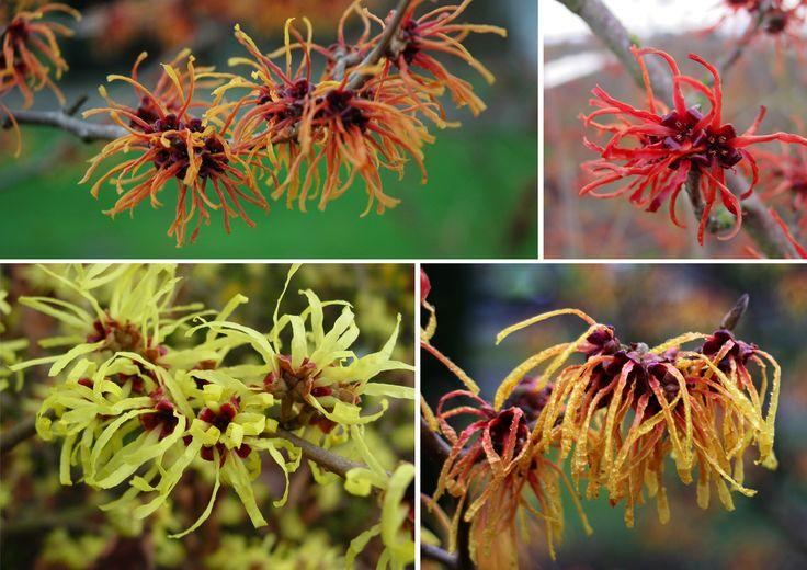 Hamamelis (toverhazelaar) bloeit in diverse tinten van geel tot rood.