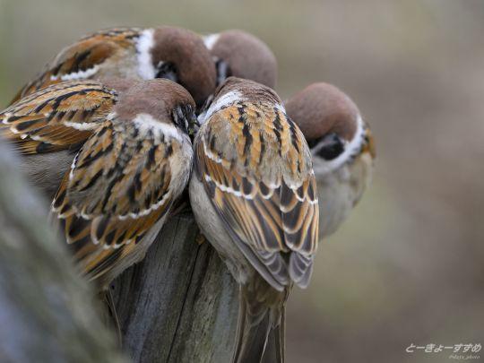 東京すずめ -Tokyo Sparrows-