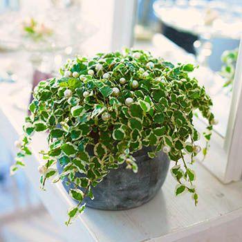 Фикус крохотный, карликовый -  Ficus pumila