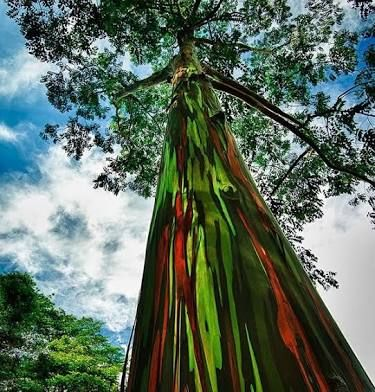 Image result for the rainbow eucalyptus