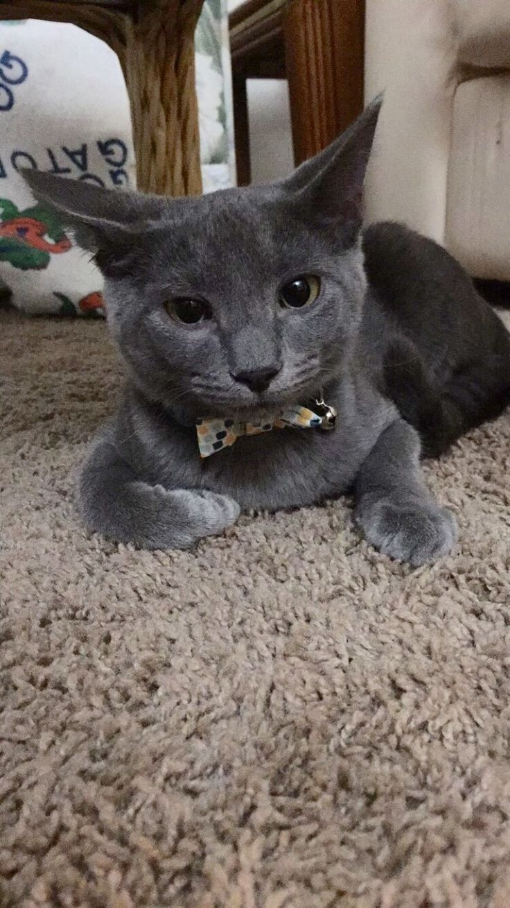 722 best Russian Blue Cats images on Pinterest
