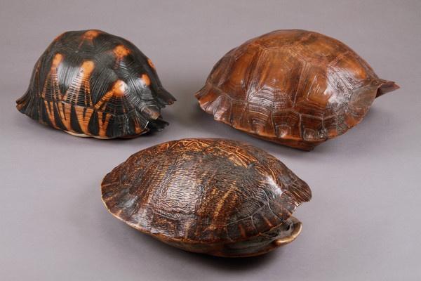 Three Specimen Tortoise Shells (Burmese)