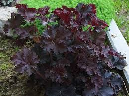 """Heuchera micrantha """"Purple Place"""" – Coral Bells.Is still an excellent choice for towards the edge of a border, or in containers and tubs. Plants form a low mound of maple-shaped leaves, from bronzy-green to rich purple-red. Spikes of small creamy-white flowers appear in early summer. In hot summer areas a [...]"""