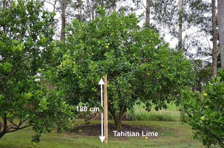 tahitian-lime-tree-large-jpg.708 (1000×662)