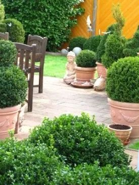 Care and selection of boxwood shrubs