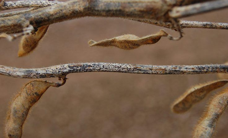 soybean pod and stem blight - 736×445