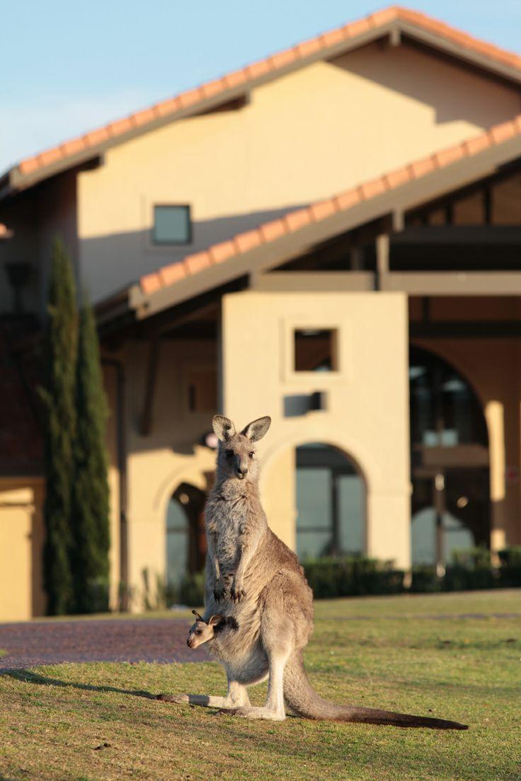 Kangaroo  #ChateauElan #Hunter Valley #Australia #Luxury #Hotel #5star #TheVintage