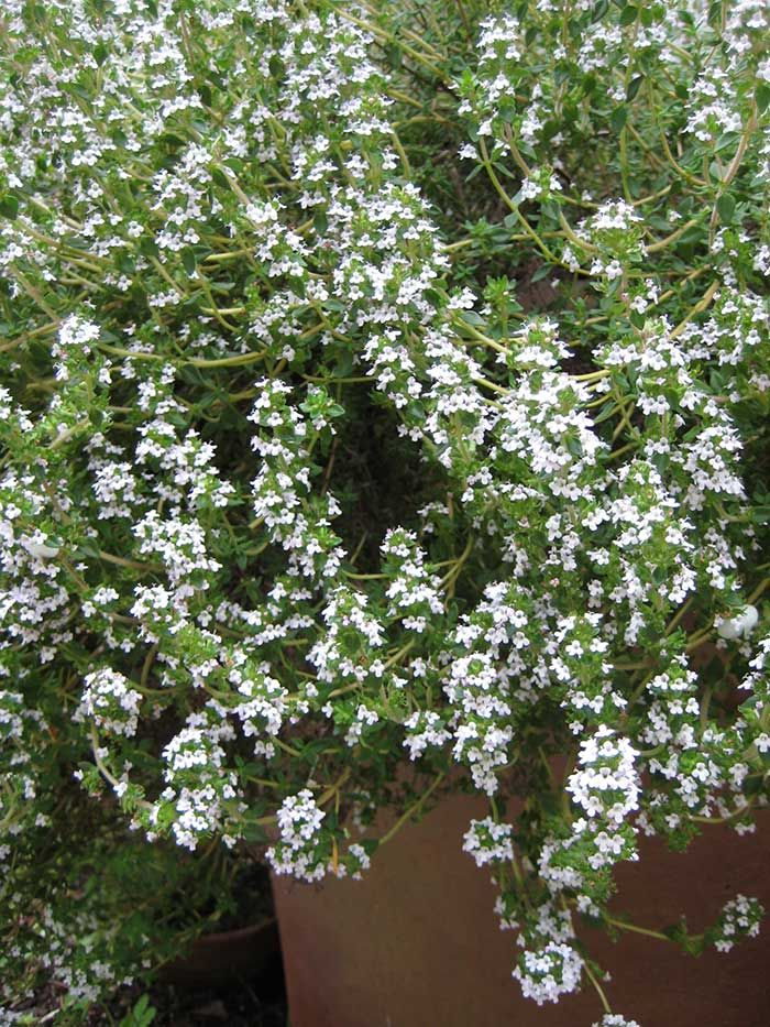 Thyme blossoms (Photos by Carol Pope)