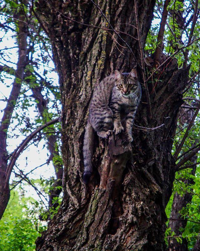 #cat #Tomescu #wild