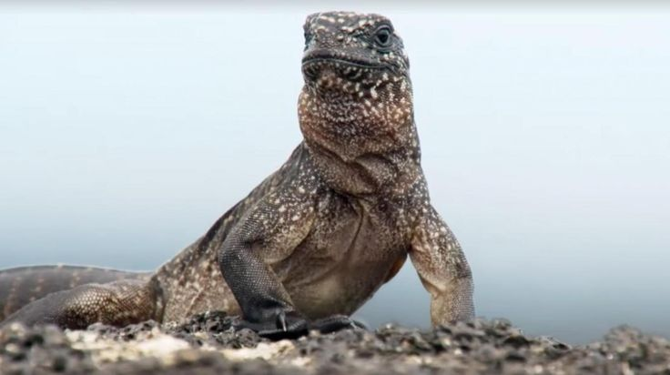 Thousands of viewers were terrified watching dramatic footage where snake army killing baby iguanas in new episode of Planet Earth II