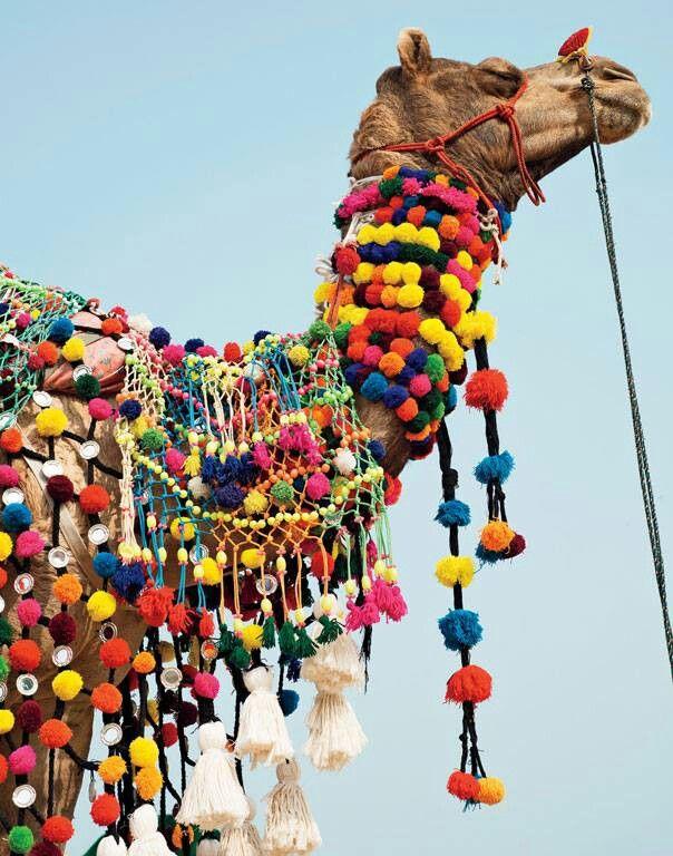 India and a Pom Pom camel