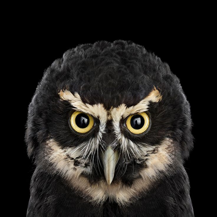 Spectacled Owl,Who's Who | Audubon