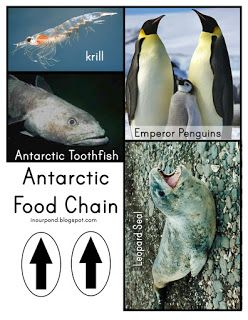 1000 images about p is for penguins on pinterest for Antarctic cuisine