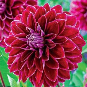"""Dinner Plate Dahlia Purple Pearl - Light: Sun to Part Shade - Bloom Time: Summer to Frost - Size: #1 clumps- Zones: 3 to 10* (Lift in fall in zones 3-7) - Height: 3' - The 6"""", redpurple flowers are finely edged with white and have more purple toward the centre."""
