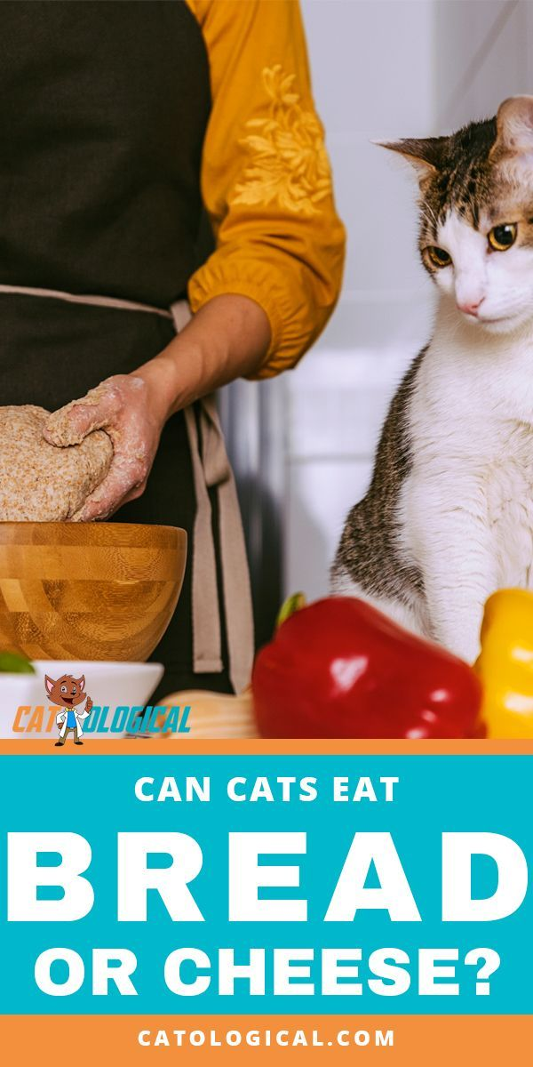 Can Cats Eat Cheese Or Bread Is It Safe Or Bad For Them Cat Nutrition Wellness Cat Food Best Cat Food