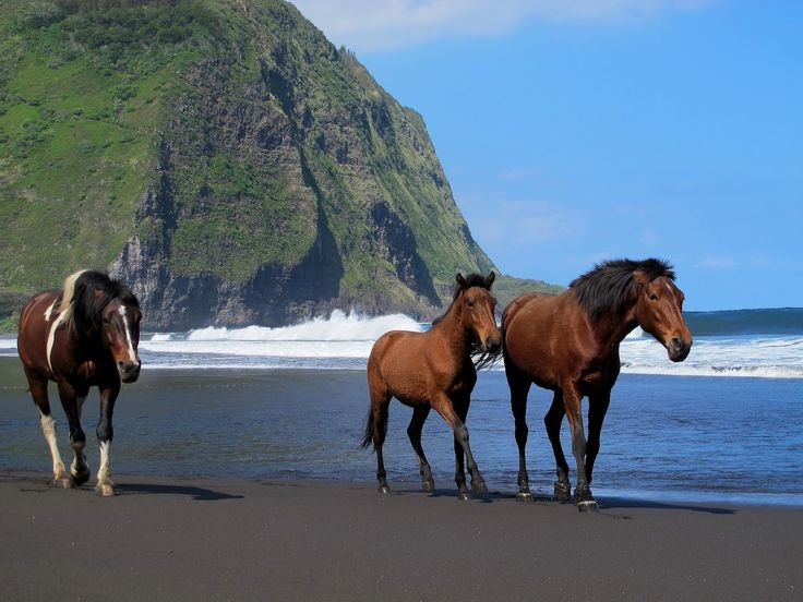 Wild Horses in  Waipio Valley, Big Island Hawaii