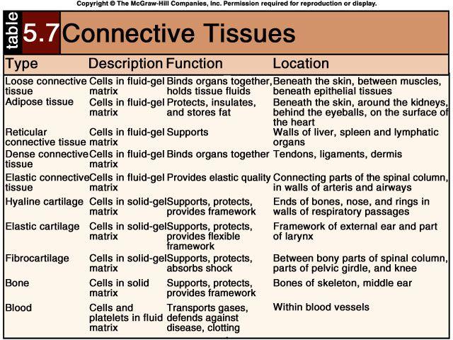 Connective Tissue Types بحث Google Histology Tissue