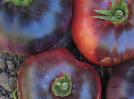 Blue Beauty - C'est une variété produisant des fruits de type chair de boeuf de 200/250 grammes. La couleur est un mélange de rouge et d'indigo. La variété est résistante à l'éclatement et aux brûlure du soleil. 80 jours. Les fruits sont très riches en anthocyanes, de puissants antioxydants. Croissance indéterminée.