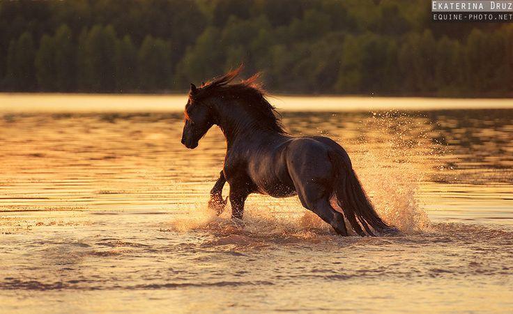 friesian in the water | Found on equestrian.ru