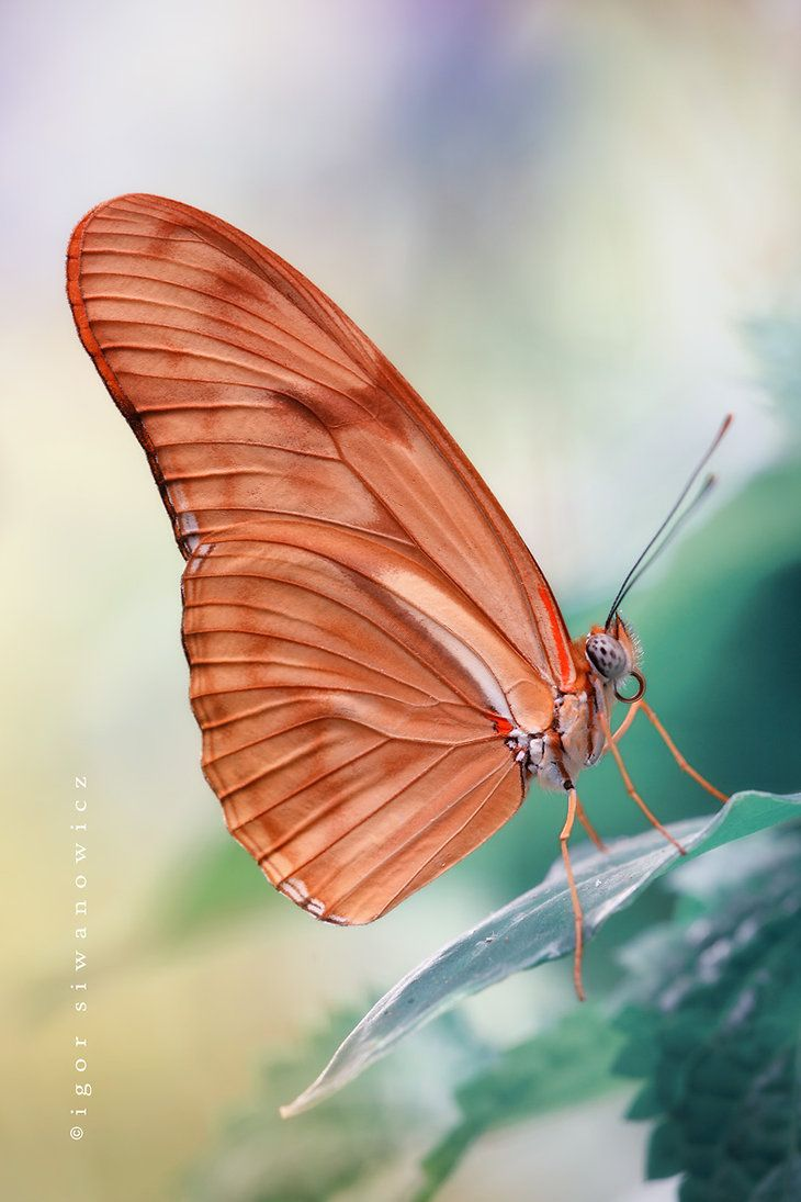 coral butterfly