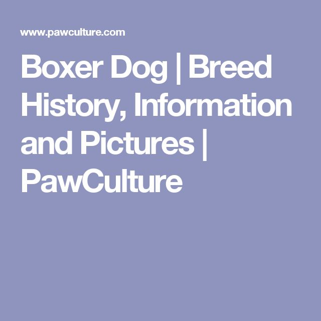 Boxer Dog | Breed History, Information and Pictures | PawCulture