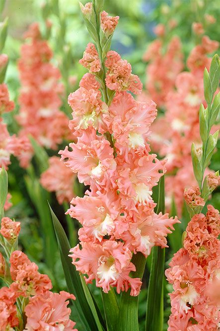 Gladioli Fringed Coral Lace Collection: David Domoney for John Lewis