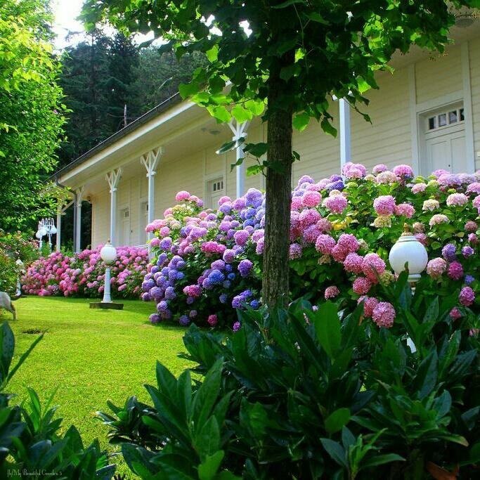 Beautiful Gardens, Hydrangeas, Garden Ideas, Cottages, Flowers, Green,  Nature, World